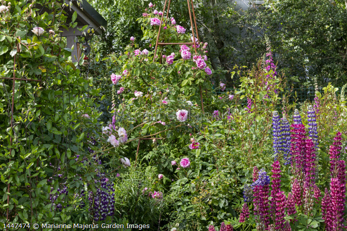 Rosa 'Constance Spry' on metal plant support, lupins