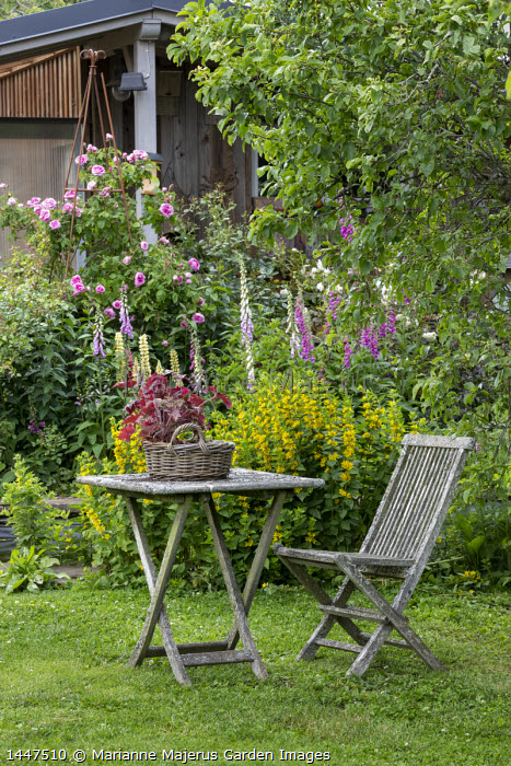 Wooden chair and table on lawn, Lysimachia punctata, Digitalis purpurea, Rosa 'Constance Spry'
