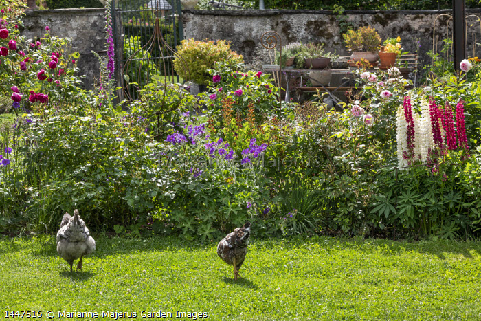 Chickens on lawn, lupins, geraniums, roses, foxgloves