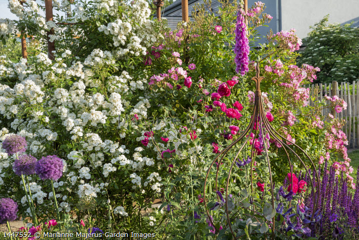 Roses, Rosa 'Millie', Rosa 'Guirlande d'Amour', Rosa 'Gardens of Hex', metal plant support, foxglove, alliums, salvia