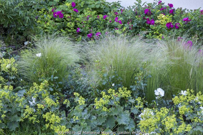 Stipa tenuissima, Alchemilla mollis, Rosa rugosa hedge