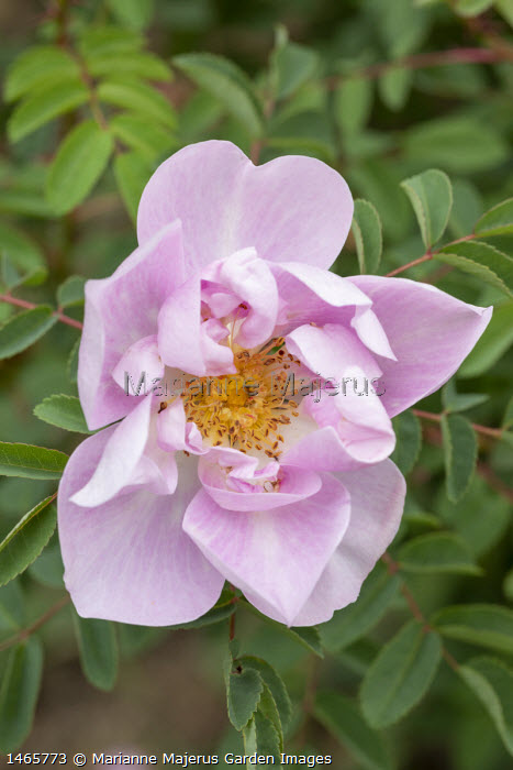 Rosa pimpinellifolia 'Mon Amie Claire'  (I. Louette 2005)