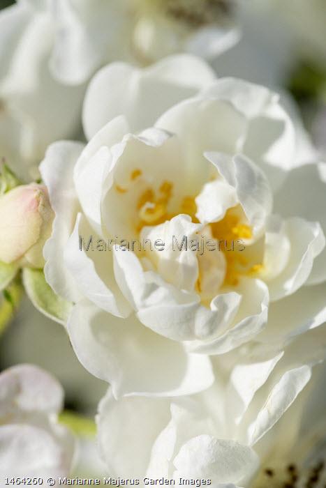Rosa 'Guirlande d'Amour'