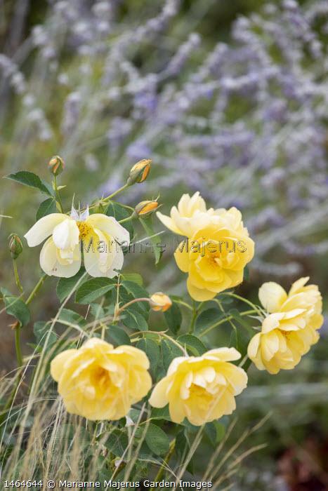 Rosa 'Buttercup'
