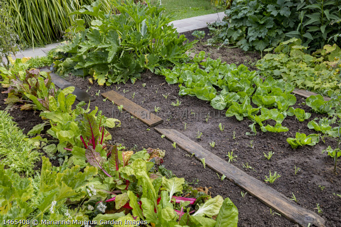 Wooden board path on kitchen garden border, rows of lettuces, Swiss chard