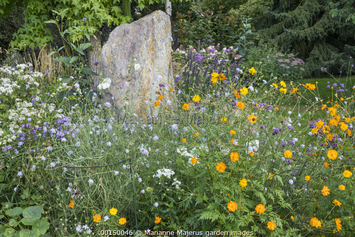 Standing stone in border, Cosmos sulphureus, Knautia arvensis, Verbena bonariensis, Ageratina altissima