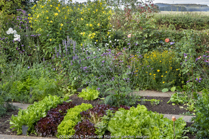 Rows of lettuces in kitchen garden, Verbena bonariensis, helianthus, agastache