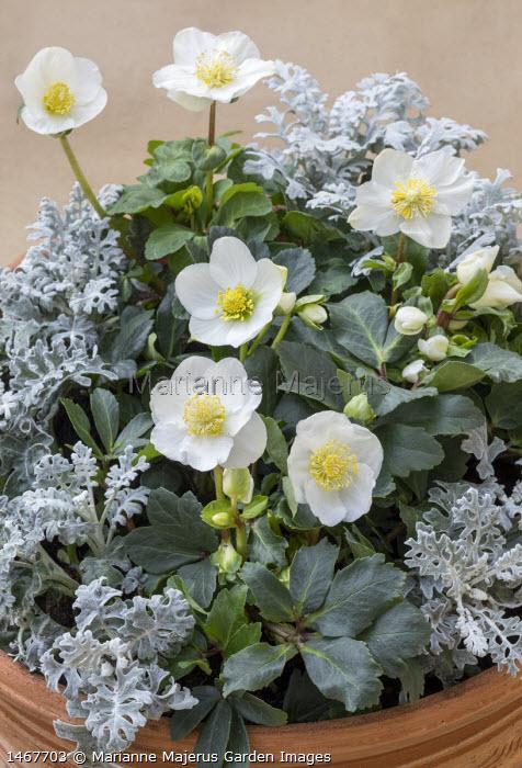 Helleborus niger 'Christmas Carol' and 'Anja' with Senecio cineraria in container