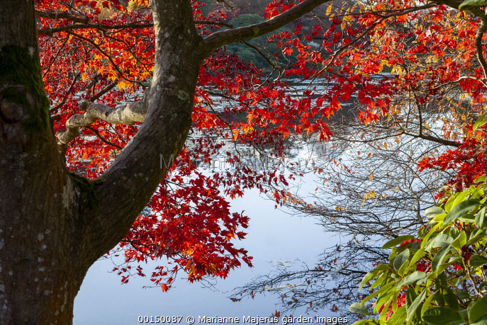 Acer palmatum by lake