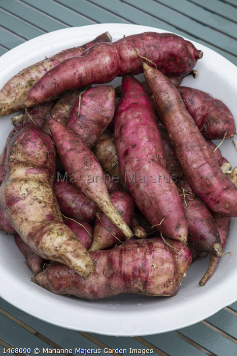 Yacon tubers, harvested in bowl