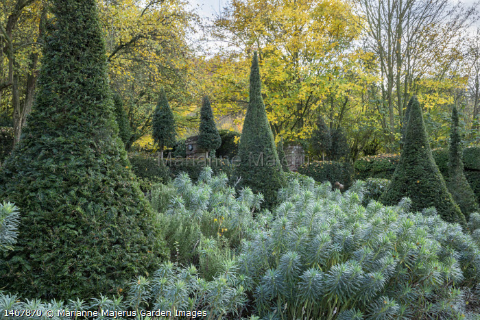 Yew pyramids in drift of euphorbia
