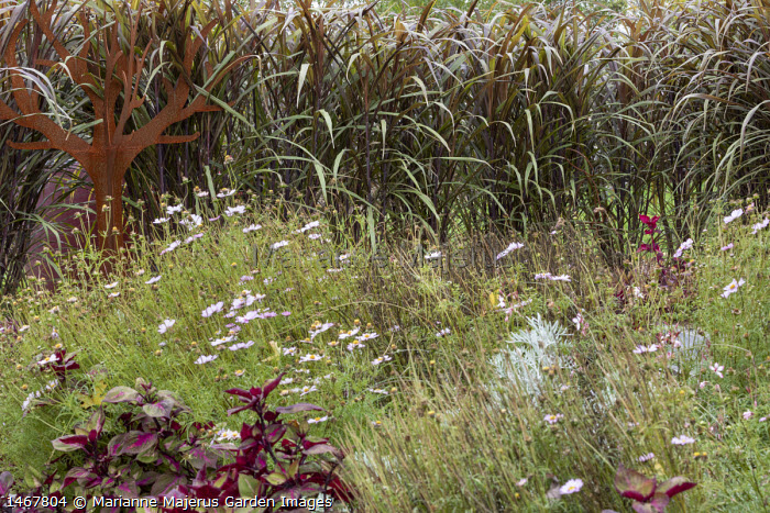 Saccharum officinarum violaceum screen, Cor-Ten steel tree sculpture, Cosmos bipinnatus