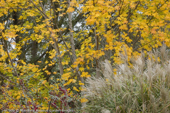 Miscanthus, acer