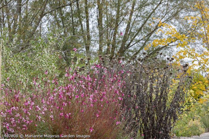 Gaura lindheimeri 'Siskiyou Pink', echinops seedheads