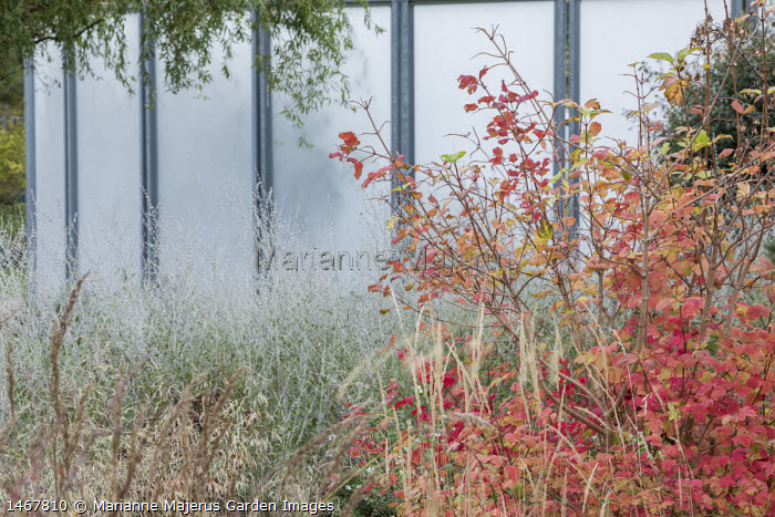 Viburnum opulus and perovskia, glass screen