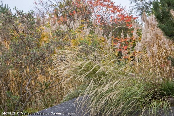 Ornamental grasses and rhus in autumn