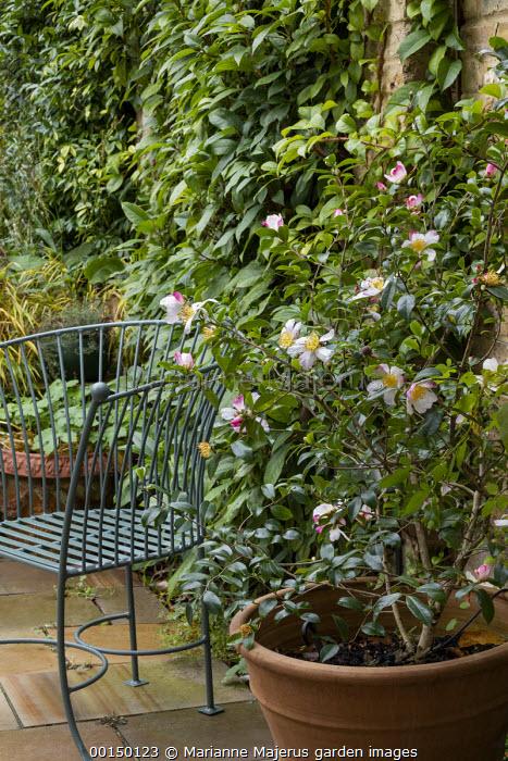Camellia sasanqua 'Rainbow' in large terracotta pot on patio, metal chair