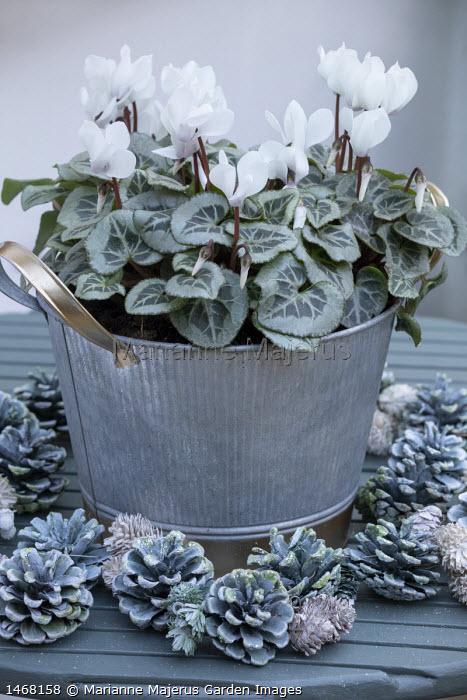 Cyclamen persicum in metal pot on table, pine cones
