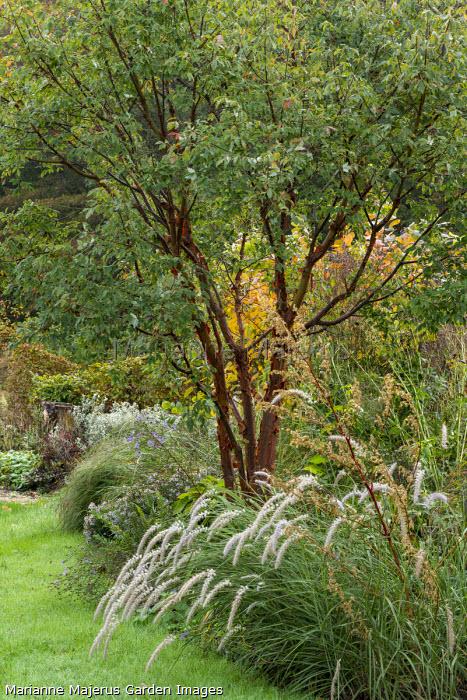 Acer griseum, Pennisetum orientale 'Shogun'