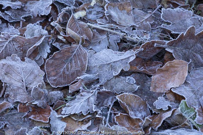 Frost on fallen autumn leaves