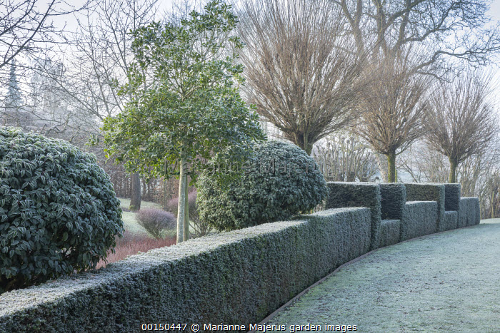 Clipped benches in topiarised yew hedge under row of Robinia pseudoacacia 'Umbraculifera' in frost, holly, Prunus lusitanica