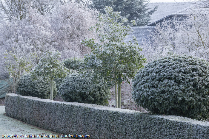 Yew hedge, Prunus lusitanica standards, ilex