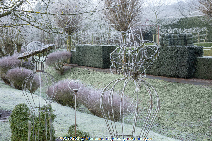 Clipped yew hedge, Robinia pseudoacacia 'Umbraculifera' in frost, metal frames