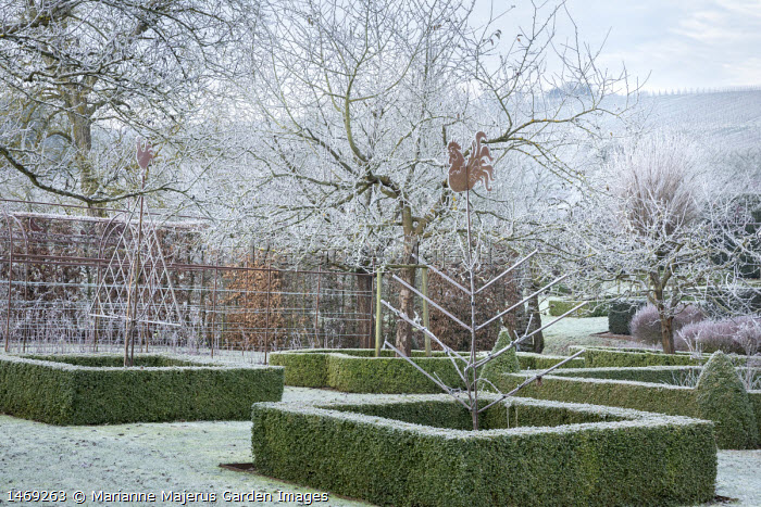 Metal plant supports in clipped box hedge edged borders, frost on lawn
