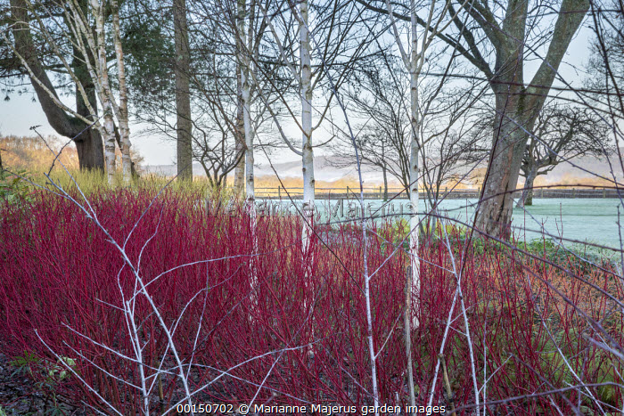 Betula utilis var. jacquemontii, Cornus alba 'Sibirica', Rubus thibetanus 'Silver Fern', Cornus sericea 'Flaviramea', frost on lawn