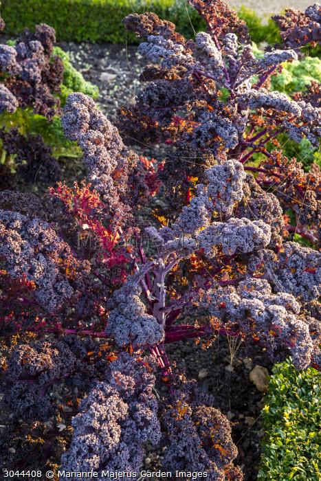 Frost on Kale 'Redbor'