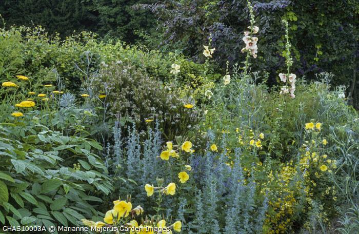 Yellow border, Achillea 'Moonshine', Oenothera biennis, anthemis, artemisia, hollyhock, fennel