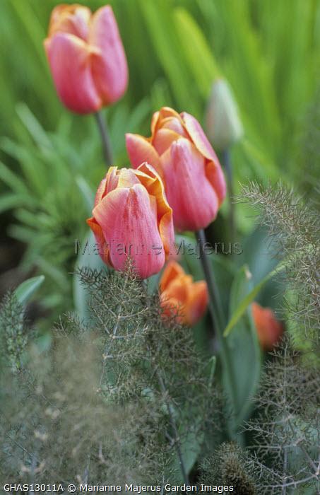 Tulipa 'Jimmy', fennel