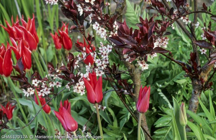 Tulipa 'Couleur Cardinal', Prunus x cisterna