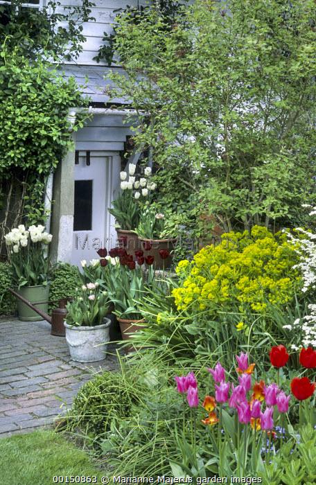 Tulipa 'China Pink', spiraea, euphorbia, tulips in containers