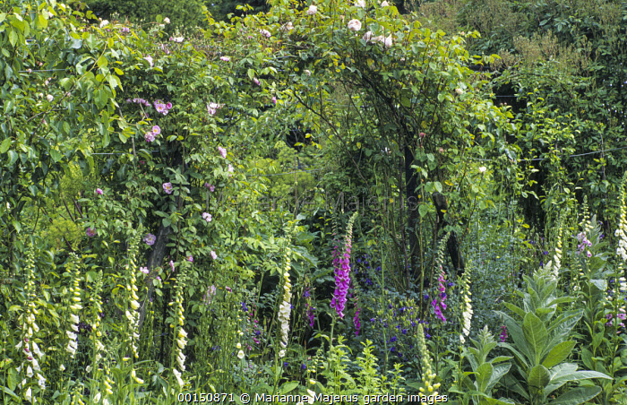 Fruit and vegetable garden, pear tunnel, foxgloves, rose arch