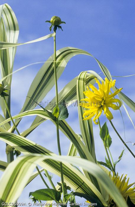 Arundo donax var. versicolor, Dahlia 'Kenn Emerland'