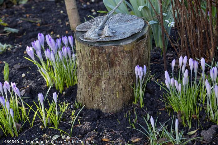 Crocus tommasinianus around sundial on log