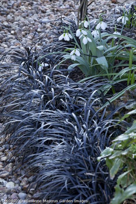 Ophiopogon planiscapus 'Nigrescens' edging, Galanthus 'Eliot Hodgkin'