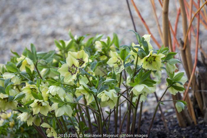 Helleborus x hybridus (Ashwood Garden Hybrids) Single pink picotee shades