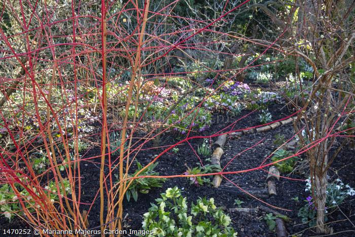 Cornus sanguinea 'Anny's Winter Orange', Helleborus x hybridus (Ashwood Garden Hybrids), Cyclamen coum, log-edged bark path