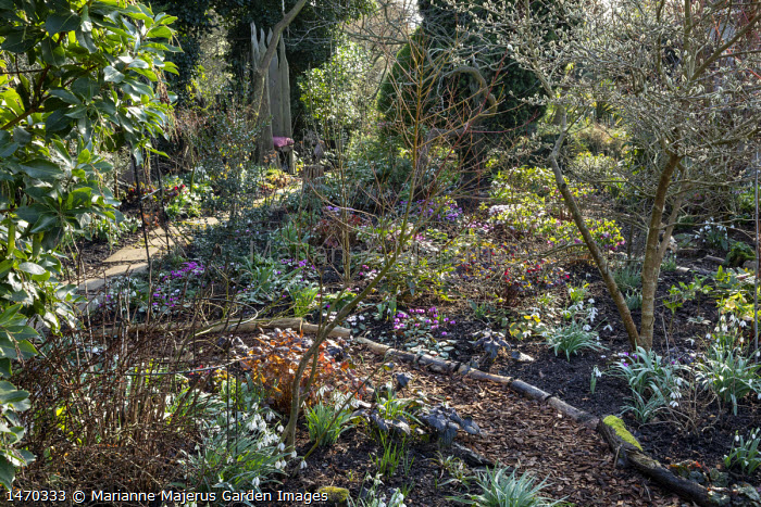 Helleborus x hybridus (Ashwood Garden Hybrids), Cyclamen coum, snowdrops, Magnolia stellata, log-edged path, view to wooden chair