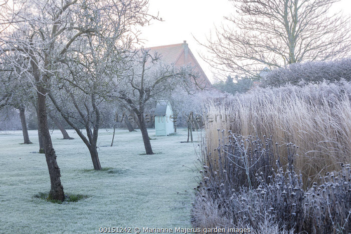 Wooden arbour in orchard, frost on lawn, Calamagrostis x acutiflora 'Overdam'