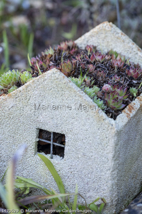 Sempervivum sin house-shaped container