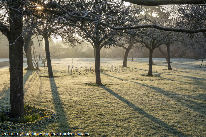 Sun breaking through orchard, frost on lawn