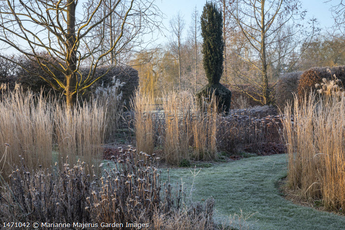 Frosted grass stems and seedheads, grass path, Calamagrostis x acutiflora 'Overdam'