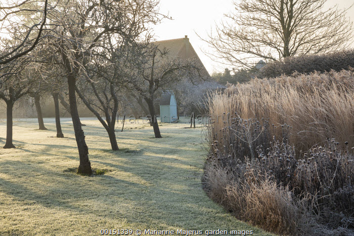 Wooden arbour and bench in orchard, frost on lawn, Calamagrostis x acutiflora 'Overdam'