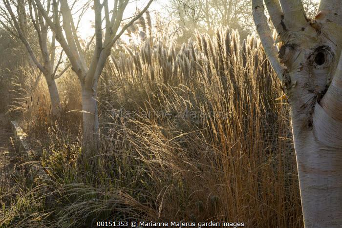 Betula utilis var. jacquemontii 'Grayswood Ghost', Calamagrostis x acutiflora 'Overdam'