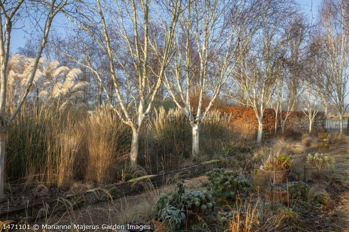 Betula utilis var. jacquemontii 'Grayswood Ghost', Stipa tenuissima, euphorbia, Cortaderia selloana 'Sunningdale Silver' and Cortaderia selloana 'Pumila'