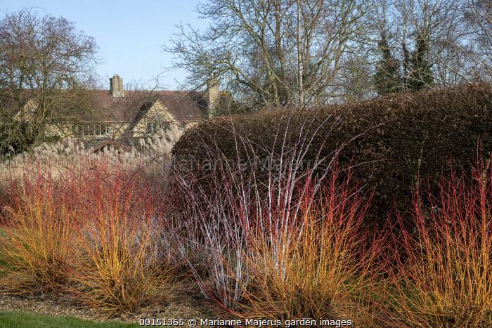 Cornus sanguinea 'Midwinter Fire', Rubus thibetanus 'Silver Fern'