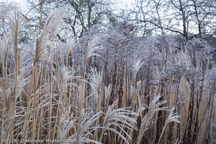 Miscanthus sinensis 'Silberfeder' and solidago seedheads in frost
